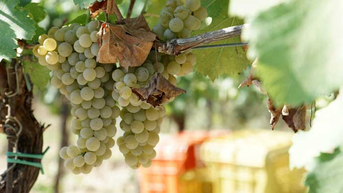 Grape Clusters in Tuscany Vineyard